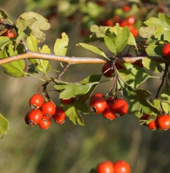Обзор боярышника — 8 лекарственных свойств, применение и рецепты