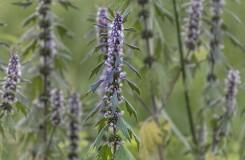 Для чего принимать траву пустырника — 7 лечебных свойств для здоровья