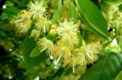 Лечебные свойства цветов липы для снижения уровня холестерина
