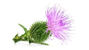 Травы для снижения мочевой кислоты в крови